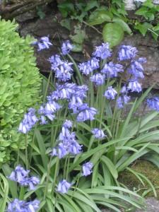 Pauline OReilly bluebells